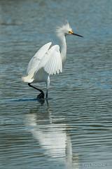 Snowy Egret with bad hair (Earl Reinink) Tags: bird animal wadingbird marshbird heron stork egret nature outside outdoors water earl reinink earlreinink snowyegret zzuuouodza