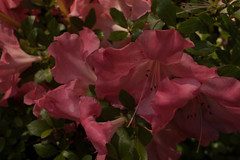 jdy152XX20180601a4811Bias-1.7 stops.jpg (rachelgreenbelt) Tags: orderericales rhododendronkatherine eudicots familyericaceae subfamilyericoideae rhododendrongenus asteridsclade oneplant singleplantportrait