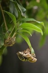 180720020 (murbozero) Tags: murbo japan cicada