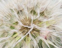 Seed Ball Close up (wyojones) Tags: wyoming absarokamountains shoshonenationalforest chiefjosephhighway meadow seedball yellowsalsify seeds seedballoon windblown tragopogondubius wildflower wyojones np