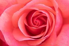 Salmon Rose (I), 5.4.18 (pattyoboe) Tags: rosa roses flora flowers wgwalk