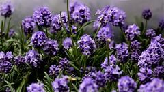Dwarf Lavender (moniquerebanks) Tags: lavender dwarflavender plants market flowermarket london closeup fragrance smell odour scent lavendel lavanda lavande garden garten tuin outdoor lilac lila bloemen blumen fiori nikond7100 flowers