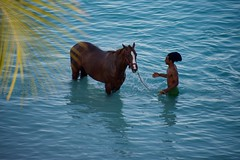 Barbados Bathing Beauties (The Good Brat) Tags: bridgetown barbados horse man beauty water swim bathe bathingbeauties caribbean