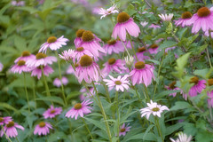 ConeFlowers (JMS2) Tags: nature wildflowers coneflowers daisies pink garden summer floral botany