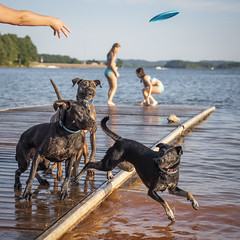 three dogs chase a frisbee into lake (ken_scar) Tags: clemsonuniversity clemson southcarolina clemsontigers highereducation college collegelife campuslife collegephoto clemsonphoto