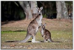 Kangaroo and Joey (Bear Dale) Tags: dale nikon d850 afs 200500mm f56e ed vr ulladulla south coast new wales australia kangaroo joey lake conjola nature fotoworx beardale lakeconjola shoalhaven southcoast framed faune faunasilvestre photo photograph groups group flickr naturephotography