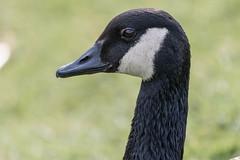 Goose (stu1406) Tags: bird park 2018 goose waterfowl head canal newbradwell miltonkeynes march canon