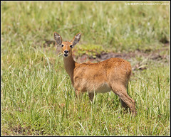 PE1A0470 Reedbuck (day5)(7-23-18)(border) (davidbbernstein1) Tags: reedbuck amboseli amboselinationalpark africananimals africa africansafari kenyasafari kenya