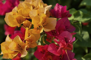red and yellow bougainvillea