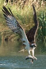 Osprey with catch... (Gary Neville) Tags: osprey birdinflight bif garyneville sony sonyrx10iv rx10m4 rx10iv iv rivergwashtroutfarm