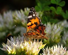 P1630185-Distelfalter (Bine&Minka2007) Tags: schmetterlinge schmetterling distelfalter bokeh butterfly natur wildlife insects insekten fluginsekten edelfalter falter fauna wanderfalter
