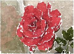 O himmlische Barmherzigkeit (amras_de) Tags: rose rosen ruža rosa ruže rozo roos arrosa ruusut rós rózsa rože rozes rozen roser róza trandafir vrtnica rossläktet gül blüte blume flor cvijet kvet blomst flower floro õis lore kukka fleur bláth virág blóm fiore flos žiedas zieds bloem blome kwiat floare ciuri flouer cvet blomma çiçek zeichnung dibuix kresba tegning drawing desegnajo dibujo piirustus dessin crtež rajz teikning disegno adumbratio zimejums tekening tegnekunst rysunek desenho desen risba teckning çizim