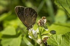 Speckled wood - Pararge Aegeria (Al Glenton - Norfolk images) Tags: speckled wood pararge aegeria butterfly uk nature wildlife macro norfolkbroads norfolk images alglentonphotography