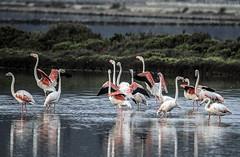 Flamencos (ibzsierra) Tags: ibiza eivissa baleares canon 7d tamron g2 150600 ave bird oiseau flamenco flamingo salinas parque natural