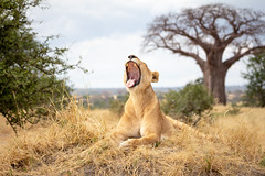 Yawn (loddeur) Tags: tanzania lion bigcat pantheraleo close safari africa tarangire nationalpark leeuw lioness