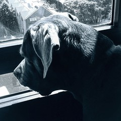 What is going outside #canecorso #canecorsomania #bigdogs #pies #dogsareawesome #blakandwhitephotography (ma4werner) Tags: canecorso canecorsomania bigdogs pies dogsareawesome blakandwhitephotography