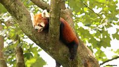 Roter Panda (innmedia) Tags: roterpanda panda red tierfoto tierfotografie tierfotos tiere tier tierpark zoo animalphotograpfie animal animals innmediafoto