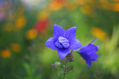 Double balloon flower (lilredlizzie) Tags: flower flowers pretty beautiful beauty color colors colorful canon canon6d helios44 helios nature naturelovers artgrowninnature outdoors outside massachusetts newengland bokeh dof bokehlicious