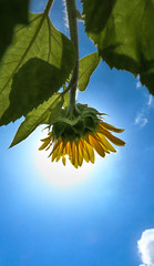 Sunflowers and clouds (sapphire_rouge) Tags: summer tokyo sunflower midsummer chofu ngc