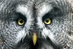 Owl Eyes (Heaven`s Gate (John)) Tags: owl twycross zoo england bird feathers closeup eyes beak johndalkin heavensgatejohn 25faves 50faves
