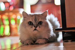Cat 球球 (Kyle@TW) Tags: 貓 球球 canon canoneosm50 cat canonef50mm