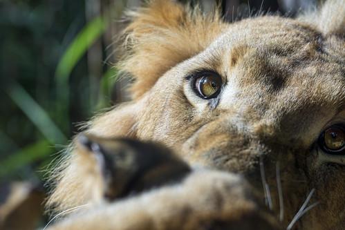 Simba's eye