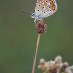 Polyommatus-icarus thumbnail