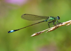 Blue-tailed Damselfly (Nigel B2010) Tags: damselfly bluetailed nature wildlife countryside countryfile outdoors attenborough nottinghamshire reserve summer august east midlands insect colour blue green yellow