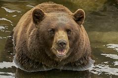 """Bear"" with me (ucumari photography) Tags: ucumariphotography american blackbear oso cinnamon grandfathermountain ursusamericanus north carolina nc specanimal"