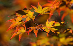 Sorry For All Friends Of Summer ... (AnyMotion) Tags: japanesemaple fächerahorn acerpalmatum leaf leaves blatt blätter foliage autumncolours herbstfarben bokeh 2018 anymotion plants pflanzen nature natur botanischergarten frankfurt tree baum colours colors farben red rot orange yellow gelb 7d2 canoneos7dmarkii summer sommer été verano zomer estate npc