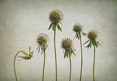 Anthropomorphic Moment (shawn~white) Tags: 100mm canon6d pincushionflower scabiosaatropurpurea scabiousbluejeans aged enchanting flash flower order seedhead simplicity stilllife studiolight texture vintage