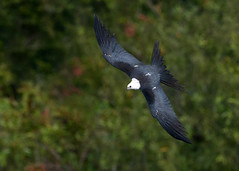 Topside (PeterBrannon) Tags: bird flight florida kite nature profile swallowtailedkite talons water wildlife topside
