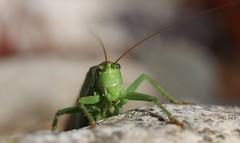Oups  ! Mon antenne est coincée dans ton écran ! (Callie-02) Tags: extérieur jardin nature profondeurdechamp été lumière couleurs bokeh macro macrographie canon pierre insecte vert yeux sauterelle antenne