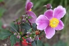 Einen schönen Sonntag ... (Gartenzauber) Tags: anemone natur sony coth coth5 alittlebeauty fantasticnature thesunshinegroup naturethroughthelens ngc npc