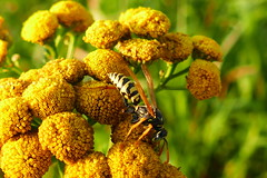 Wasp On Tansy (ivlys) Tags: biebesheim rhein rhine fluss river rainfarn tansy wespe wasp insekt insect natur nature makro macro ivlys