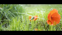 Day off (Alexandre LAVIGNE) Tags: ricohgr coquelicot gr ambiance fleur herbes macro nature poppy rouge vert saintquentin picardie france