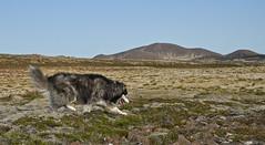6-august-kotlugengi-sandfellsleid_014 (Stefán H. Kristinsson) Tags: sandfellsleið hundar dogs hiking reykjanes sandfell nikond800 tamron2875mm iceland ísland summer ágúst 2018 sunshine