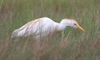 Cattle Egret (Bubulcus ibis ibis) 05-28-2018 Assateague I. NS--Fox Hill Level, Worcester Co. MD 7
