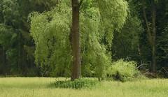 Im Baccumer Wald - Pappelstamm und Trauerweide auf einer Feuchtwiese; Lingen (4) (Chironius) Tags: lingen baccumerwald baccumerforst wald emsland germany deutschland niedersachsen allemagne alemania germania германия lingenerhöhe weepingwillow grün landschaft и́ва trauerweide weide salix osier willow marsault saule sauce salice salcio ива söğüt wilg baum bäume tree trees arbre дерево árbol arbres деревья árboles albero árvore ağaç boom träd forest forêt лес bosque skov las