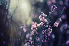 peach blossom (Rita Eberle-Wessner) Tags: peach blossom peachblossom flower blüte bloom tree piunk rosa blume makro macro bokeh knopsen branches zweige