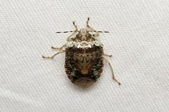 Hemiptera, Pentatomidae sp. (Stink Bug) - Isunga, Uganda (Nick Dean1) Tags: animalia arthropoda arthropod hexapoda hexapod insect insecta hemiptera isunga uganda
