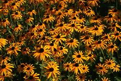 Sonnenhut - Orange Coneflower (Wolfgang Bazer) Tags: sonnenhut orange coneflower rudbeckia fulgida var speciosa botanischer garten wien vienna österreich austria sommerblumen blumen summer flowers