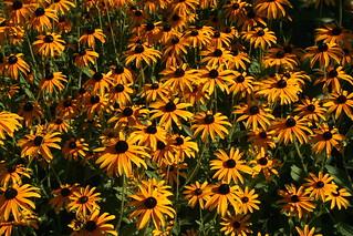 Sonnenhut - Orange Coneflower