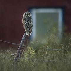Jordugle - Asio flammeus - Short-eared Owl - VJ2_7479 (Viggo Johansen) Tags: jordugle asioflammeus shortearedowl birds finnmark wildlife