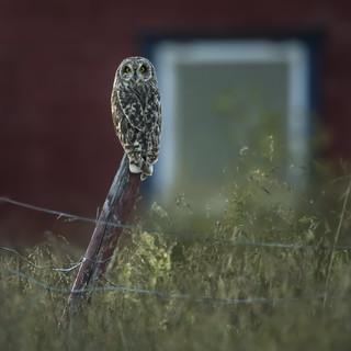 Jordugle - Asio flammeus - Short-eared Owl - VJ2_7479