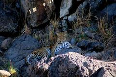 Leopard (AWFPresident) Tags: africa africanwildlife bigfive wildlife africansafari wildlifephotography topwildlife wildlifefacts leopard fastestanimal africanleopard rosettes savannahleopard
