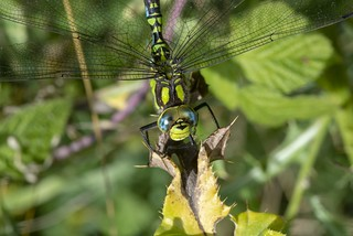 A beautiful southern hawker dragonfly