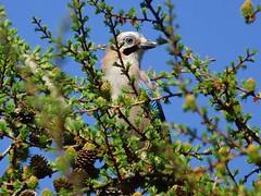 Eichelhäher (Eurasian Jay, Garrulus glandarius) (gabyschulemannmaier) Tags: garrulusglandarius