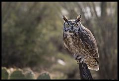 _O6A3106 Great Horned Owl ©Dancing Snake Nature Photography (Dancing Snake Nature Photography) Tags: arizona nature photography dancingsnakenaturephotography birds raptors greathornedowl asdm freeflight