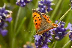 Lycaena phlaeas (#christopher#) Tags: butterfly lavender flower insect macro lycaena phlaeas